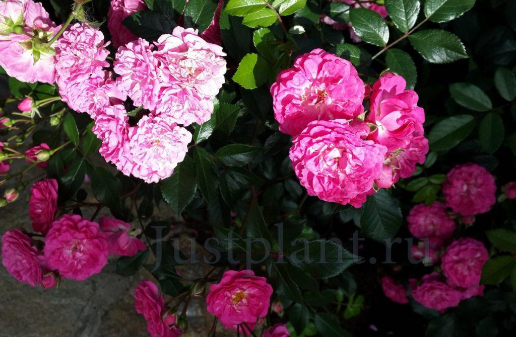 цветник из роз в перми