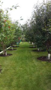 деревья купить, деревья декоративные пермь