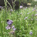 Посевной цветник, полевой цветник, цветник из луговых трав, природный цветник
