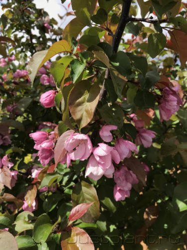 Декоративноцветущая яблоня