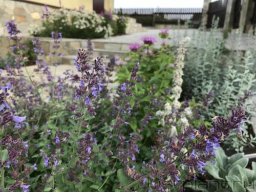 В цветнике из засухоустойчивых растений посажены пряные культуры, пригодные для заваривания чая