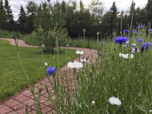 Посевной цветник маскирует фундамент забора из бетона