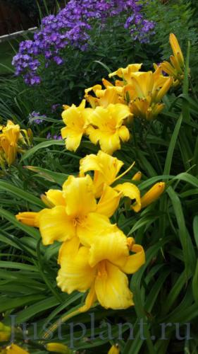 Цветение лилейника и флокса