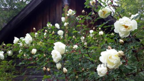 Парковые розы наиболее устойчивые в условиях Перми