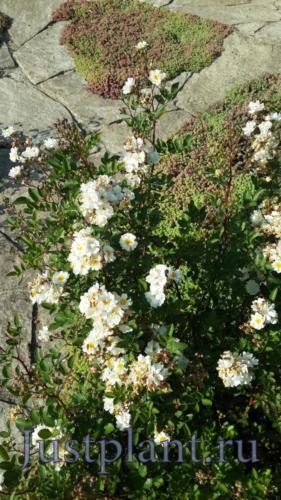 Почвопокровные растения способны быстро заполнять территорию и препятствуют размножению сорняков