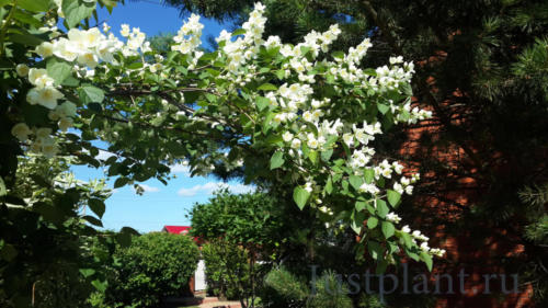 Цветение чубушника