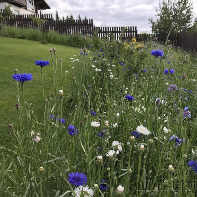 Цветение однолетних васильков через 3 месяца, после посева