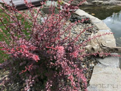 """Гравийный сад с ярким барбарисом. Загородная резиденция """"Веретье"""", Пермский край"""