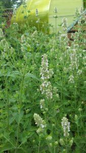декоративный огород, пряные травы пермь