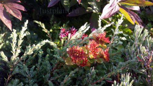 Растительное сочетание можевельника и многолетних растений