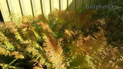 Применение папоротника в озеленении сада