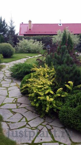 Декоративнолиственные кустарники