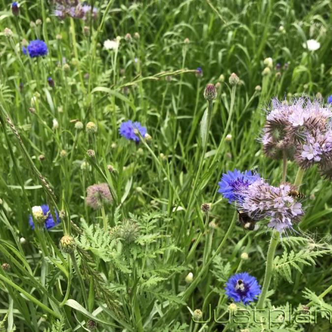 Фацелия - медонос и привлекает большое кол-во насекомых