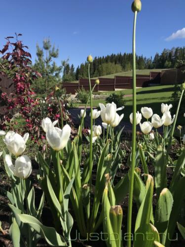 Цветение тюльпанов в конце мая, 2 год жизни посевного цветника