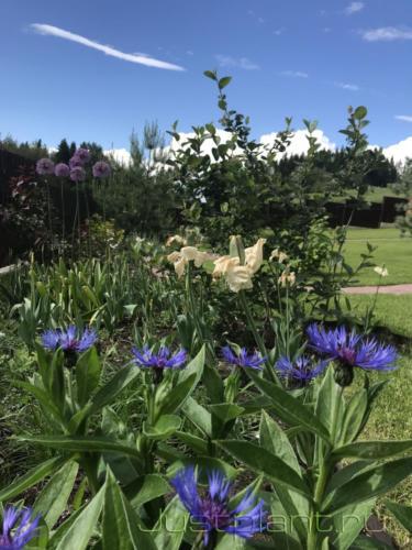 Цветение василька горного в конце июня