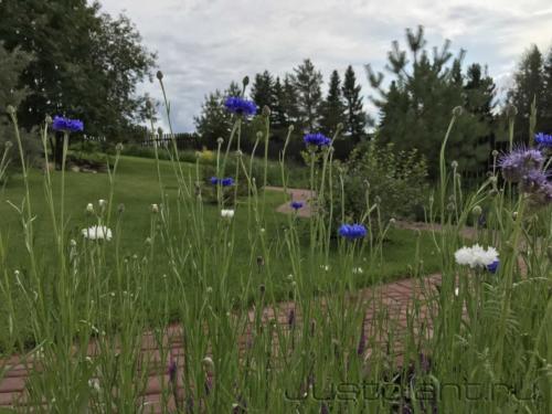 Васильки в посевном цветнике